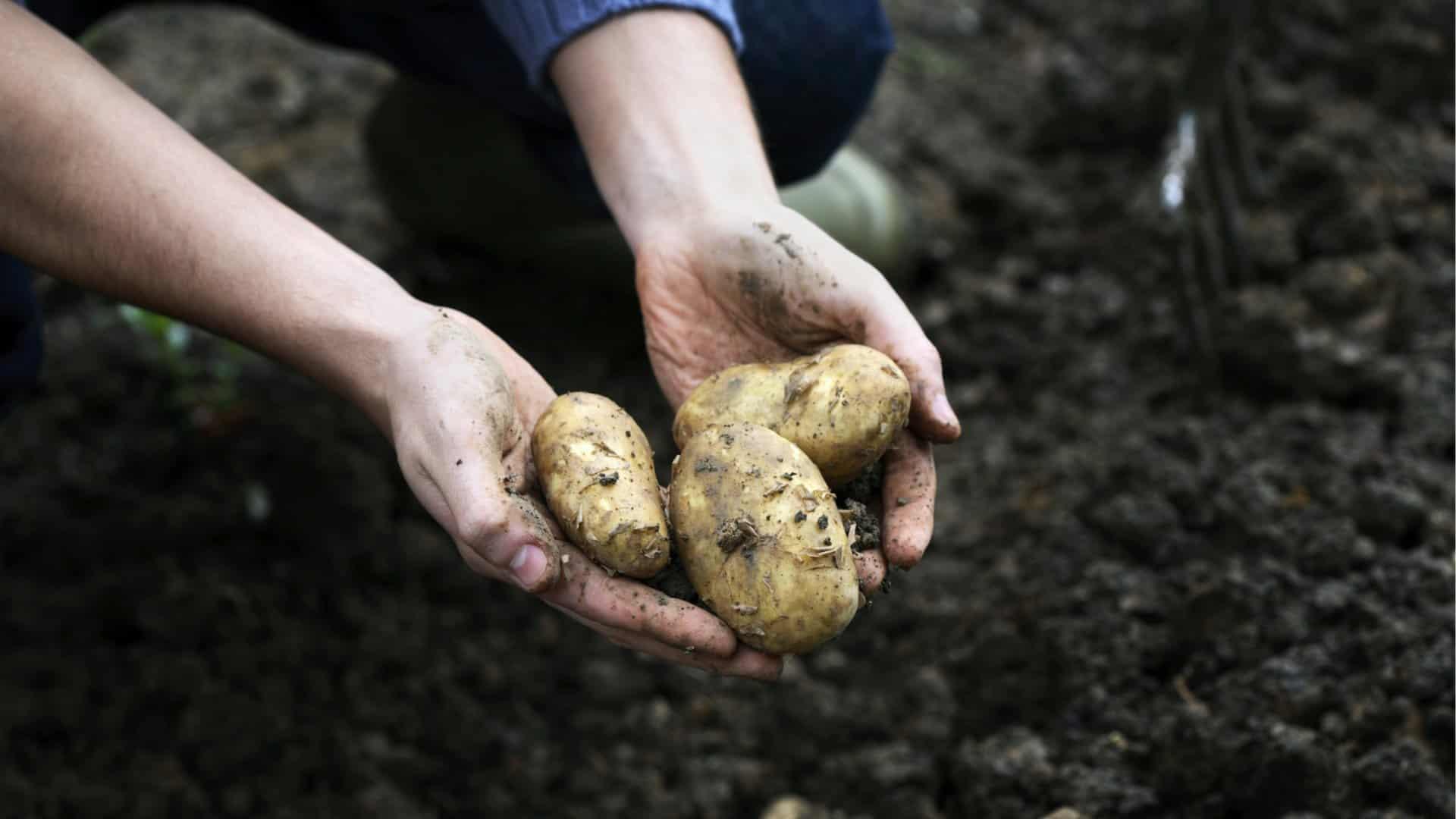 Hoe aardappels koken, bakken enzo